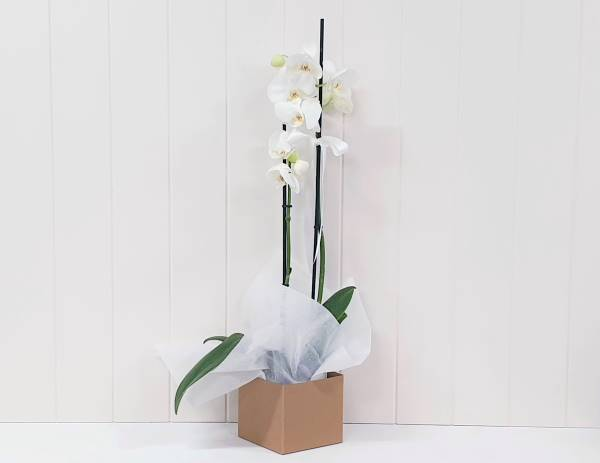 Orchid Double Stem in Box 55.99